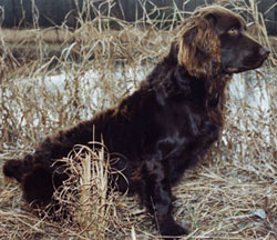Boykin Spaniel -Dovewood Kennel-Home page